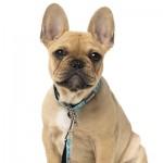 FuzzYard Saint Yeezy Small Dog or Puppy Collar - X Small